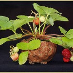 Erdbeere. Schale: Dan Barton